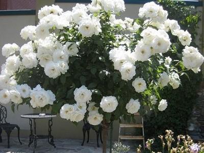 Роза флорибунда «Iceberg» на штамбе. Купить саженцы в питомнике