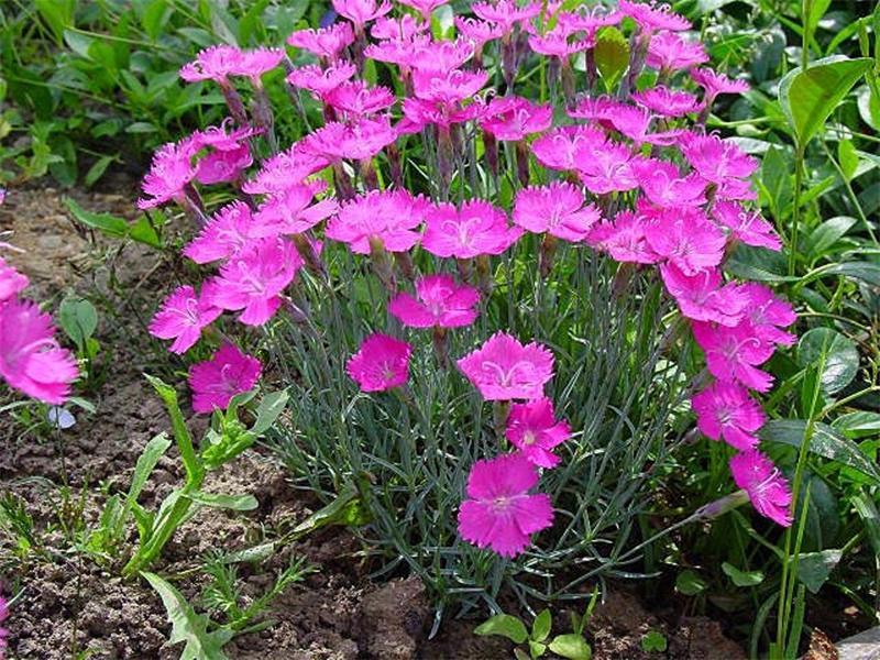 Гвоздика альпийская - Многолетники - Цветы - Каталог - Современный декоративный питомник