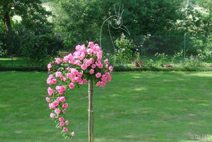 Саженцы роз 10