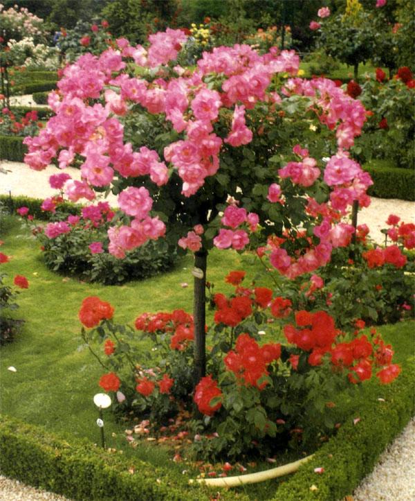 Розы скрещенные с шиповником